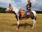 Paint-Horse -Wallach braves Freizeitpferd