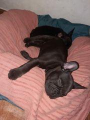 französische Bulldogge reinrassiger Hund