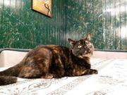 Kitten BKH- Ägyptische Mau Gr