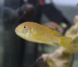 Malawibuntbarsche abzugeben: Kleinanzeigen aus Filderstadt - Rubrik Fische, Aquaristik