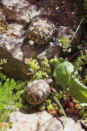 griechische Landschildkröten Schildkröte von 2018
