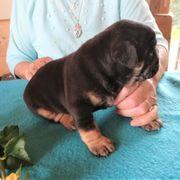 Süße kleine englische Bulldog-Welpen zu