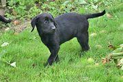 Labradorwelpen suchen ein neues Zuhause