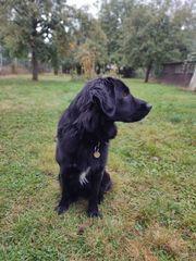 Jung- Hund Rüde Labrador - Golden Retriever