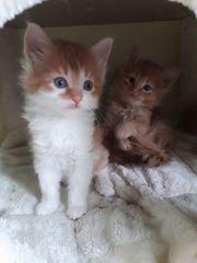 Norwegische Waldkatzen Katzenbabys Kitten