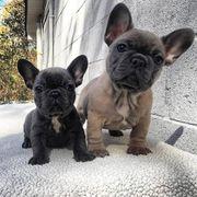 Tolle Französiche Bulldoggen Welpen mit