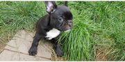 Französische Bulldoggen Welpen ab sofort