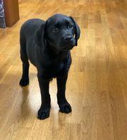 Labrador Welpen Hündin