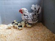 Biete 10 Eier von Leghorn