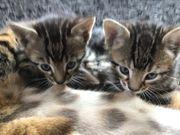 Bengal BKH Edelmix Kitten