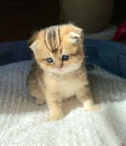 Suche BKH Scottish fold Kitten