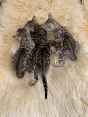 Sanfte Bengal-Katzenbabies im Wildlook
