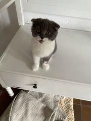 Britisch-Kurzhaar Scottish Fold Kitten