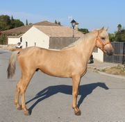 Super hübsches Palomino Pony Andalusier