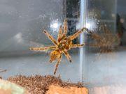 Pterinochilus murinus 4-5cm OBT