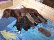 Wunderschöne Labradorwelpen