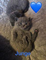 bkh Baby Kitten reinrassig