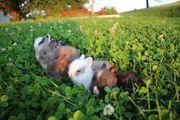 Teddyzwerge Kaninchen langhaar klein bleibend