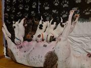 American Bulldog Mix Welpen