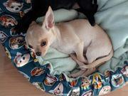 Wunderschöner Chihuahua KH Rüde und