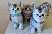 BKH Kätzchen suchen ein neues