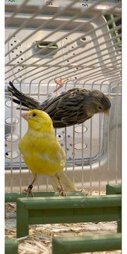 Kanarienvogel Weibchen