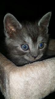 Britisch Kurzhaare Kitten Weiß Blue