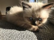 Ragdoll - Kitten