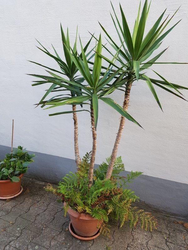 Yucca Palmen gratis Klivie