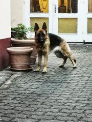 2 Schäferhunde zu verschenken