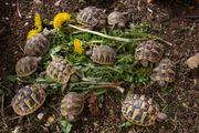 Nachzuchten griechischer Landschildkröten von 2019