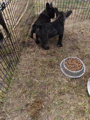 beide Reserviert Französische Bulldoggen Welpen