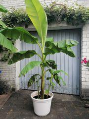 Bananen Pflanze