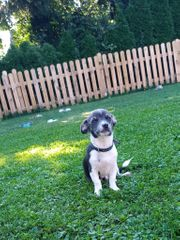 Verkaufe dringend mein Chihuahua