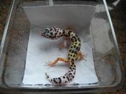 Leopardgecko MS Lavender Broken Striped