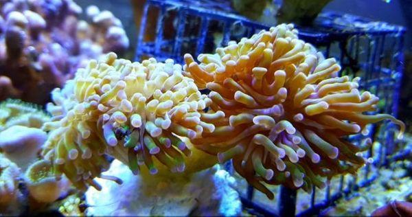 Meerwasser Euphyllia paraancora Bi-color pro