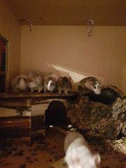 wunderschöne Ratten 8 wochen bis