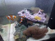 occelaris Clownfisch Zuchtpaar mit Dennerle