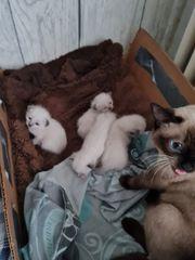 4 Süße Siam KatzenBabys