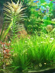 Aquariumpflanzen blyxa japonica