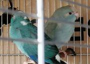 dennächst blaue Ziegensittiche Reservierung ratsam
