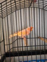 Kanarienvogel ROT Henne Weibchen von