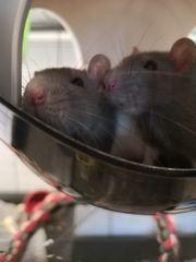 Ratten 3 Monate alt männlich