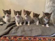 Europäische Kurzhaar Kitten