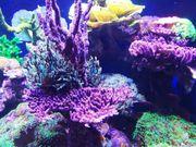 Korallen Ableger SPS LPS