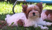 Kleiner süßer Yorkshire Terrier Rüde