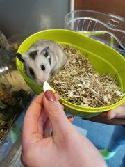 Hamster Goldhamster Kalle aus Pflegestelle