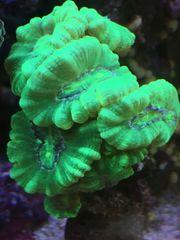 Koralle LPS Caulastrea mint neon