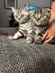 Letzter Bkh Scottish fold Kitten