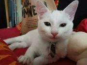 weißes Kätzchen fast b5 Monate -